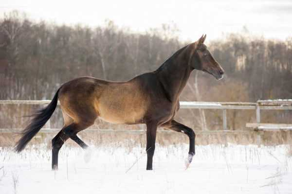 Exterior and character traits of the Akhal-Teke horse