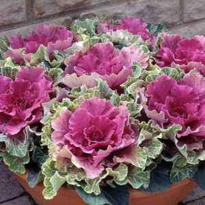 Fancy Varieties of Ornamental Cabbage