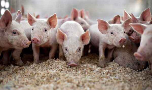 Farm Pig Crossbreeding Methods