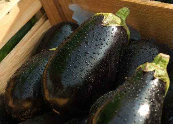 Favorable days for picking eggplant in March