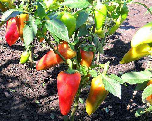 Favorable days for sowing pepper