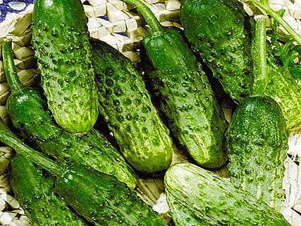 Features and description of the variety of cucumbers Rodnichok