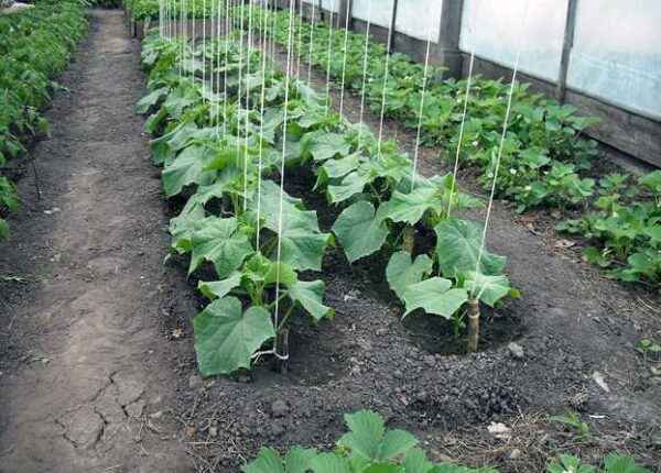 Features garter cucumbers in the greenhouse