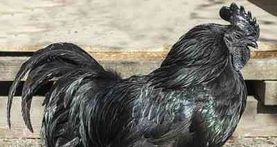 Features of black hens