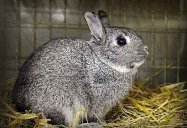 Features of Chinchilla Rabbit