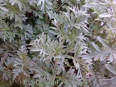 Features of decorative garden wormwood