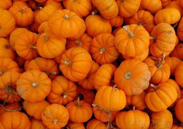 Features of feed pumpkin