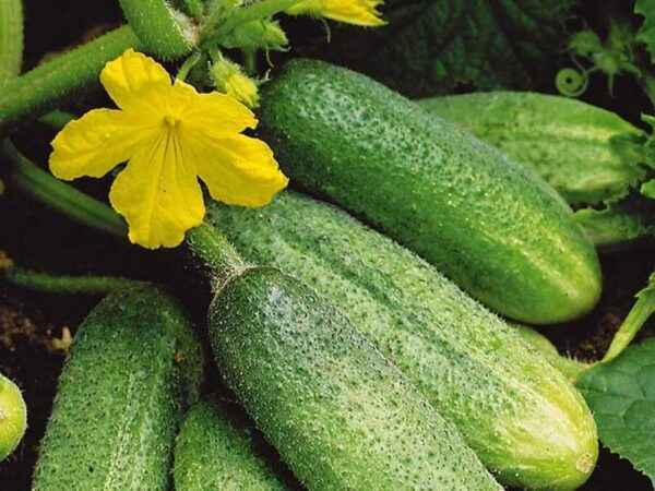 Features of feeding cucumbers with ash
