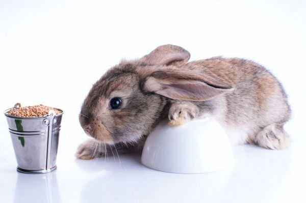 Features of feeding rabbits with grain