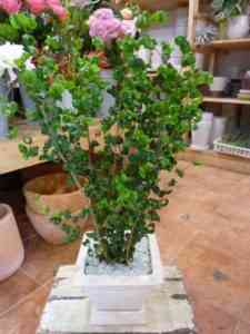 Features of Ficus Baroque