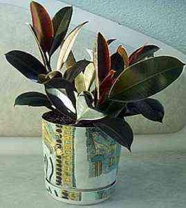 Features of Ficus Melanie