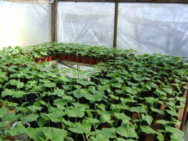 Features of growing cucumbers in a polycarbonate greenhouse