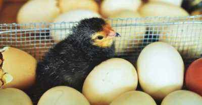 Features of hatching chickens from eggs