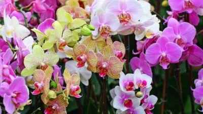 Features of orchid cultivation and care