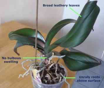 Features of pruning orchid roots