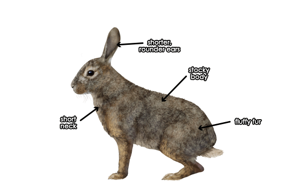Features of the hare