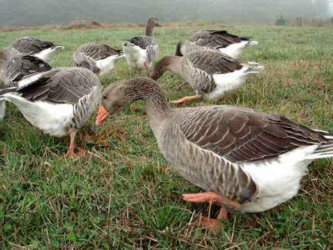Features of Toulouse geese