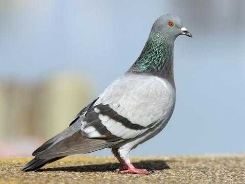 Features of wild pigeons