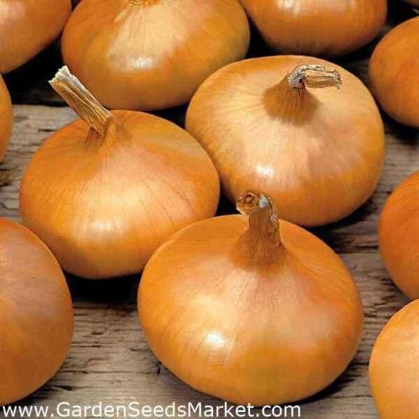 Features varietal onions Stuttgart Riesen