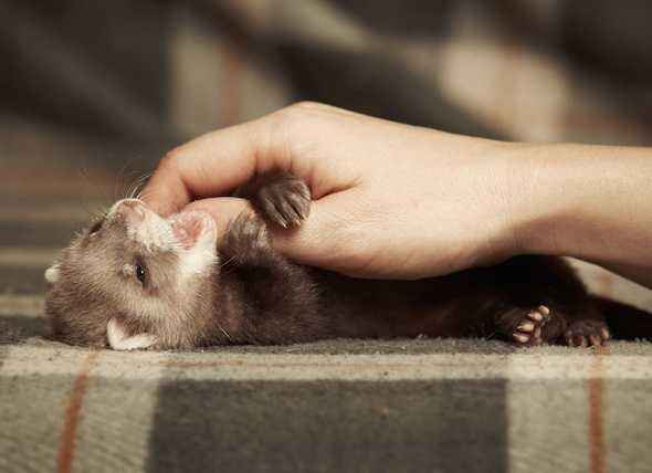 Ferret Care at Home