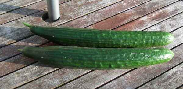 Fertilizers for feeding cucumbers