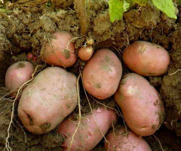 Fertilizing rules for potatoes in spring and autumn