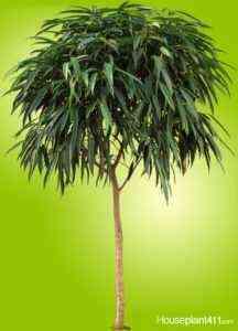 Ficus Ali variety
