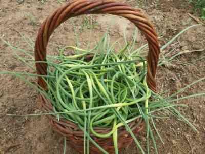 Garlic Arrow Removal