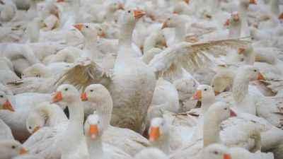 Goose Farm Profitability