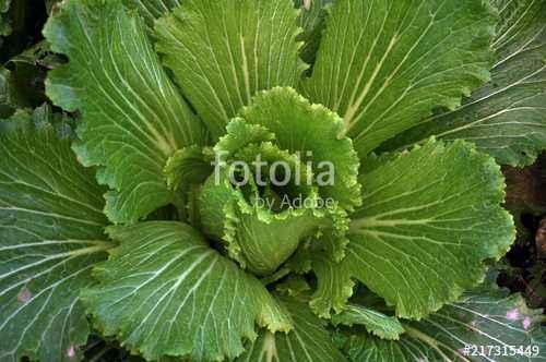 Growing Beijing cabbage in the open ground