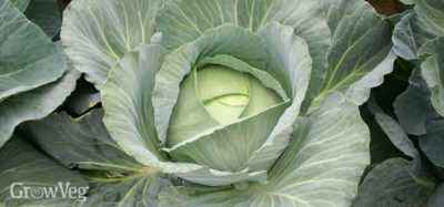 Growing Beijing cabbage in the Urals