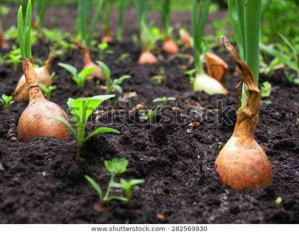 Growing Black Onion