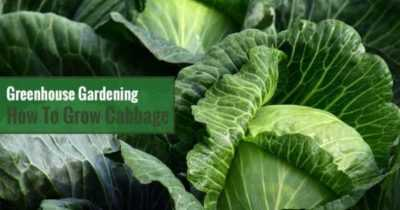 Growing cabbage seedlings in a greenhouse