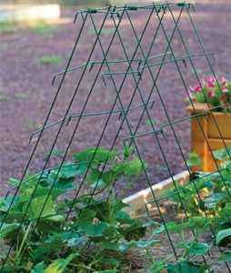 Growing cucumbers with a pyramid