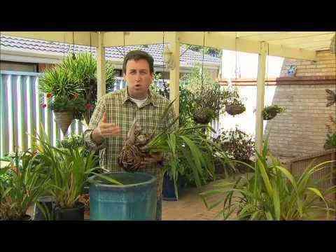 Growing Cymbidium Orchids
