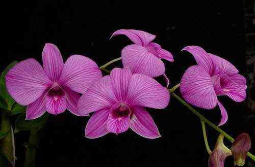 Growing Dendrobium Phalaenopsis