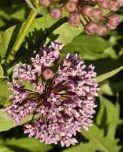 Growing milkweed