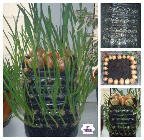 Growing onions in a plastic bottle