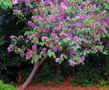 Growing Orchid Tree Bauchinia
