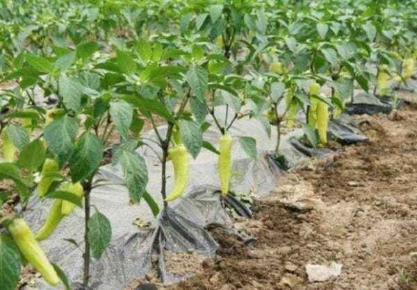 Growing pepper in the open ground