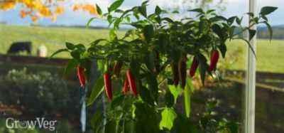 Growing pepper on a windowsill