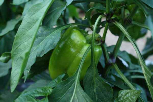Growing Pepper Player