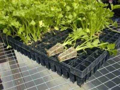 Growing peppers on the advice of Galina Kizima
