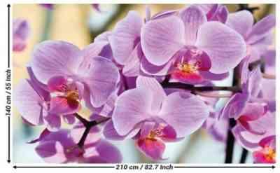Growing Phalaenopsis Lewis Sakura