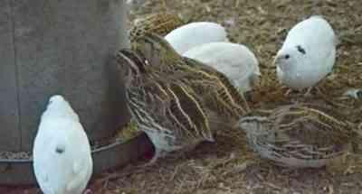 Growing quail at home