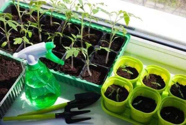 Growing tomato seedlings according to the Ganichkina method