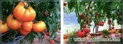 Growing tomatoes by the method of Galina Kizima