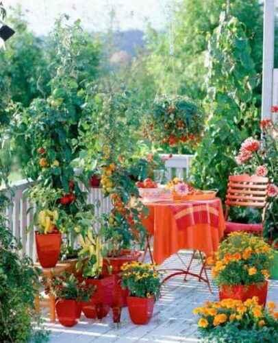 Growing tomatoes on the balcony