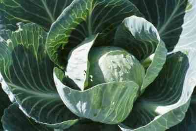 Growing White Cabbage