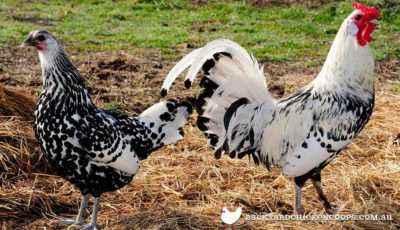 Hamburg chickens